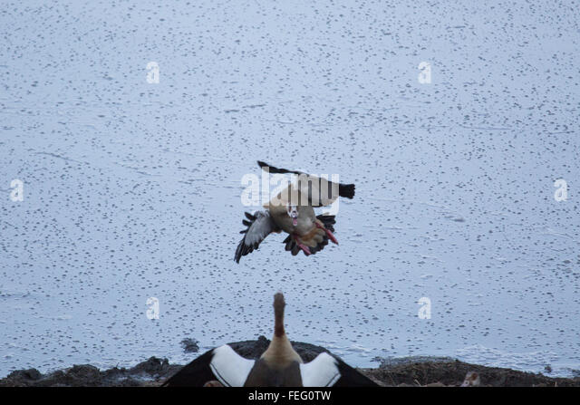 Egyptian goose attack - Stock Image