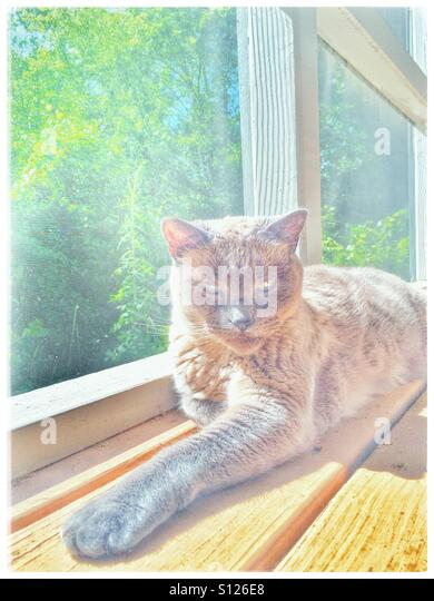 Siamese cat sun bathing on a screened in porch - Stock Image