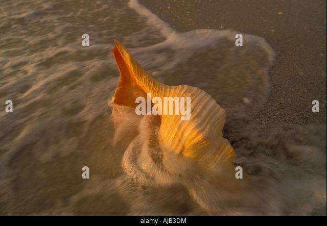 horse conch, sea shell, .Pleuroploca gigantea, sanibel captiva islands southwest florida barrier island lee county - Stock Image