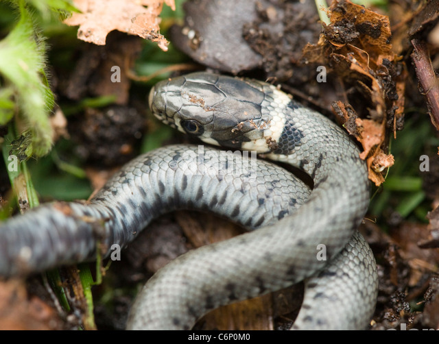 Young grass snake, Natrix natrix, just hatched. UK. - Stock Image