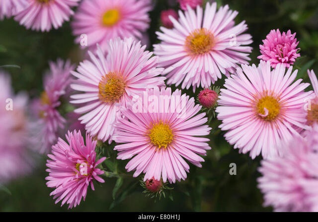 how to keep daisies blooming