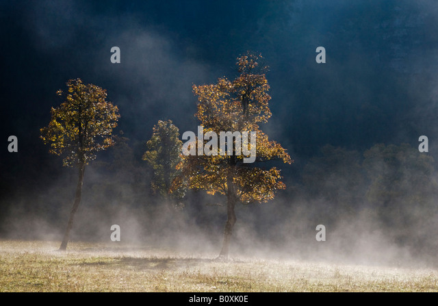 Austria, Tirol, Karwendel, Field maple tree in early morning mist - Stock Image