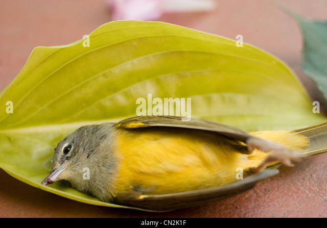 Dead bird in leaf - Stock Image