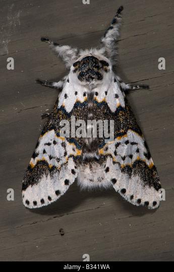 Prominent Moths Notodontidae White Furcula Furcula borealis - Stock Image
