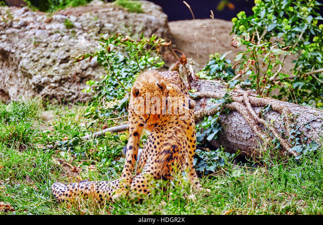 Couple of Cheetah play (Acinonyx jubatus)-is a big cat in the subfamily Felinae that inhabits most of Africa and - Stock Image
