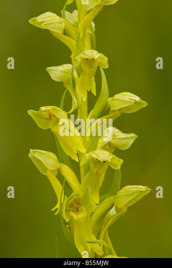 Frog orchid coeloglossum viride sometimes classified as dactylorhiza