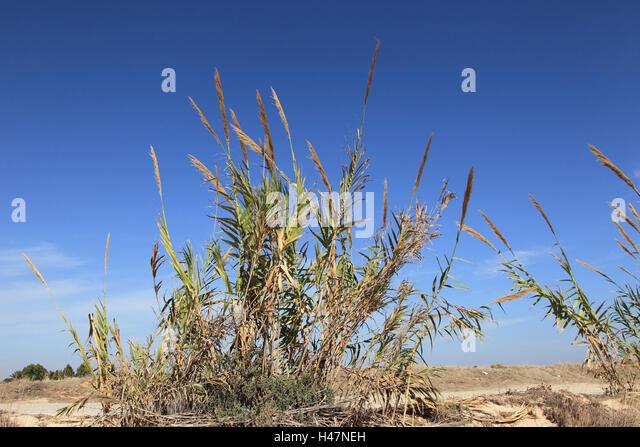 Gigantic reed, - Stock Image