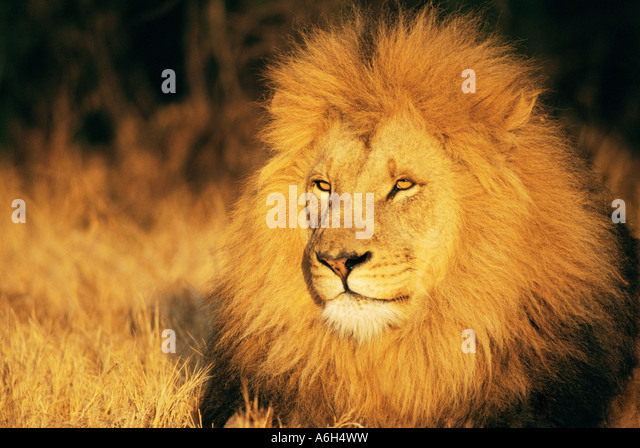 Lion - Stock Image
