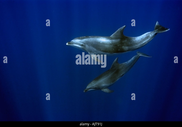 Bottlenose Dolphin Tursiops Truncatus Atlantic Stock ...