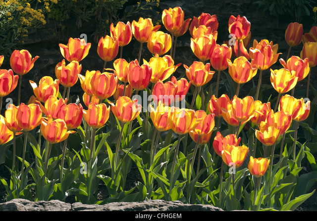 Backlit tulips in a garden - Stock Image