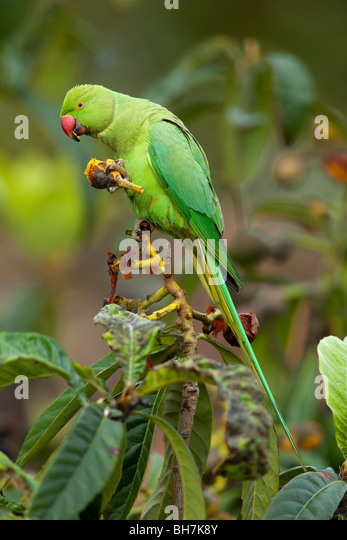 RING-NECKED or ROSE-RINGED PARAKEET (Psittacula krameri) eating Common Medlar fruit (Mespilus germanica). - Stock Image