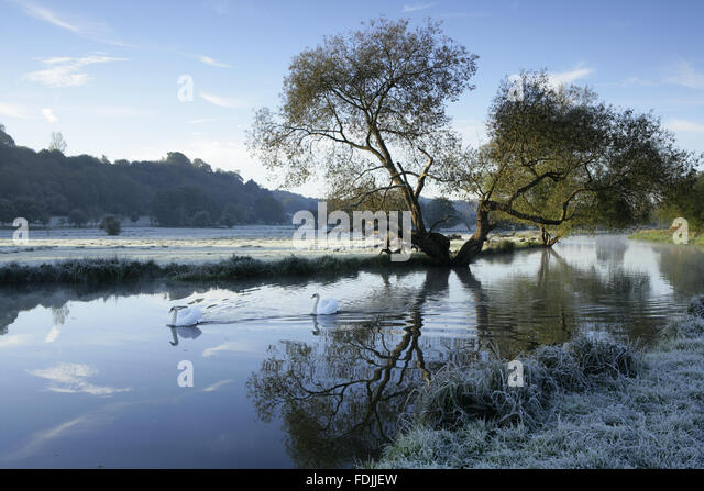 A frosty winter scene with swans gliding on the water at the River Wey Navigations, Surrey. - Stock-Bilder