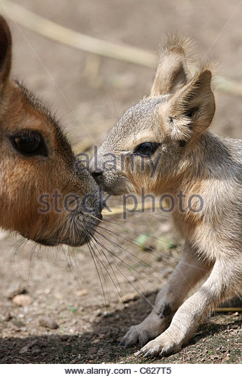 A baby Patagonian Cavy (Marsupial) at Central Aprk Children's Zoo - Stock Image