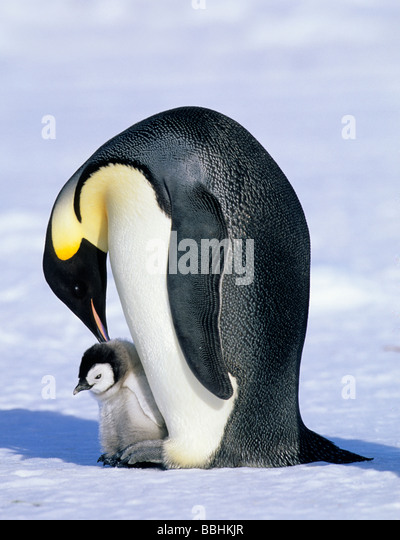 Emperor Penguin Aptenodytes forsteri Cape Crozier Ross Sea Antarctica - Stock-Bilder