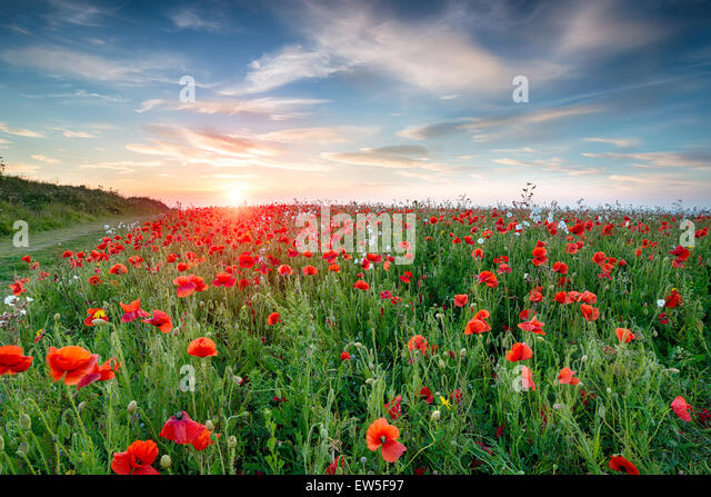 A field of wild flowers and bright red Poppies at Crantock near Newquay in Cornwall - Stock Image