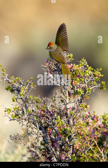 Green-tailed Towhee Pipilo chlorurus Mono Lake, California, United States 14 May Adult Male defending territory - Stock-Bilder