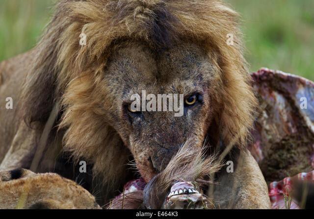 African lion (Panthera leo) male feeding on a kill amongst others, Masai Mara National Reserve, Kenya, September - Stock-Bilder