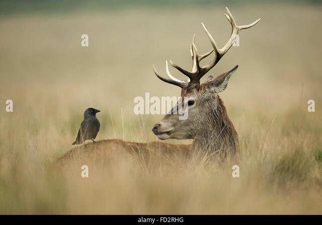 Red deer (Cervus elaphus) stag with his friend, a Jackdaw (Coloeus monedula) during the rutting season - Stock Image