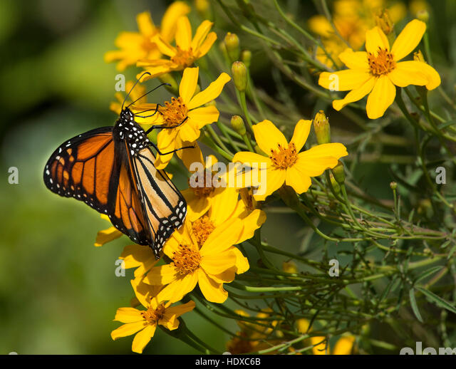 Monarch Butterfly (Danaus plexippus) feeding on yellow flowers - Stock Image