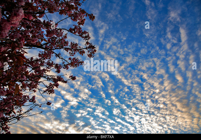 Altocumulus stratiformis Clouds layers - Stock Image