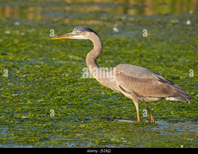 Great Blue Heron Hunting - Stock Image