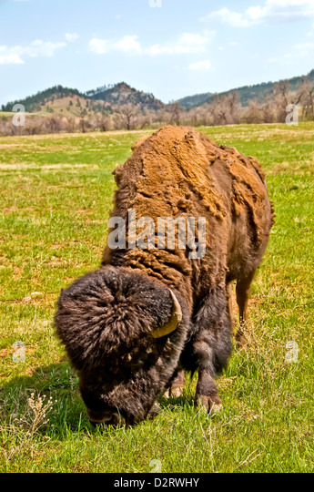 American bison shedding its winter coat consumes grass in Custer State Park South Dakota - Stock Image