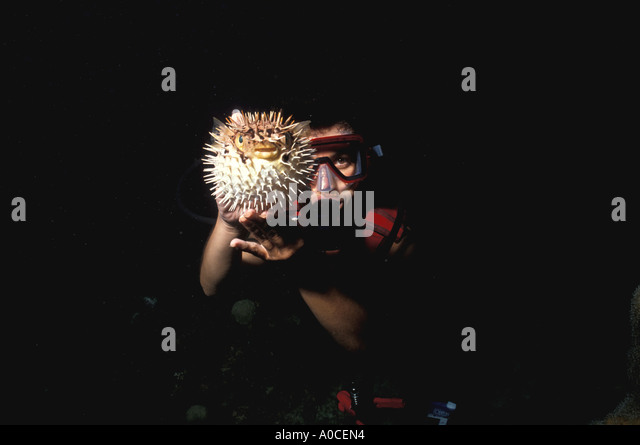 underwater woman holding puffer fish at night - Stock Image