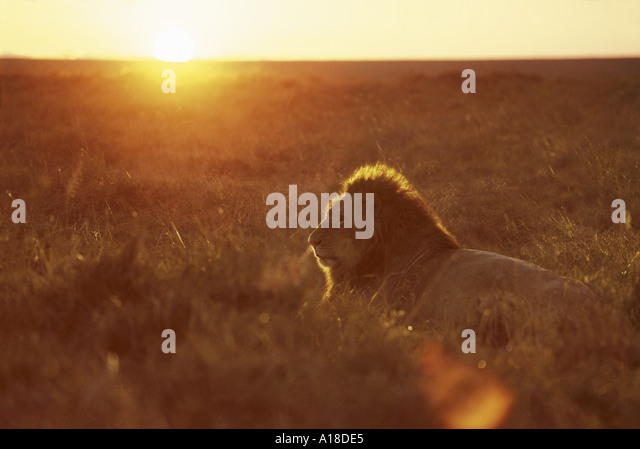 Lion at dawn Masai Mara Kenya - Stock Image