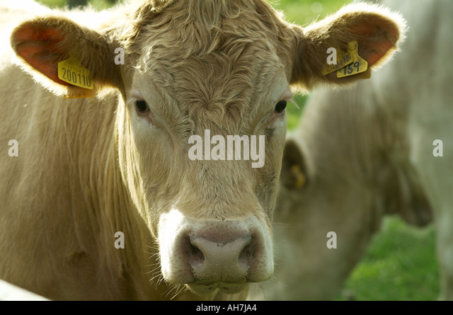 cow cattle beef steer steak in field farm agriculture animal husbandry farming farmer maff defra ear tag - Stock Image
