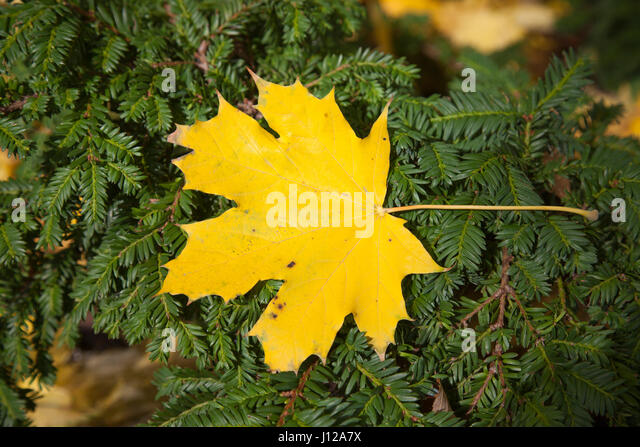 Yellow maple leaves, nature - Stock Image