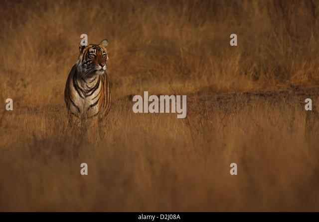 Wild Bengal tiger, Panthera tigris, standing in open grassland, Ranthambore N P, India - Stock-Bilder