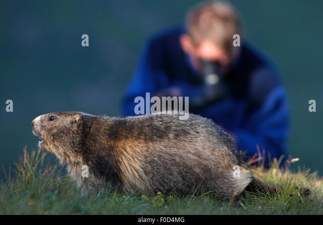 Marek Kolodziejczyk filming an Alpine marmot (Marmota marmota) model released, Hohe Tauern National Park, Austria, - Stock Image