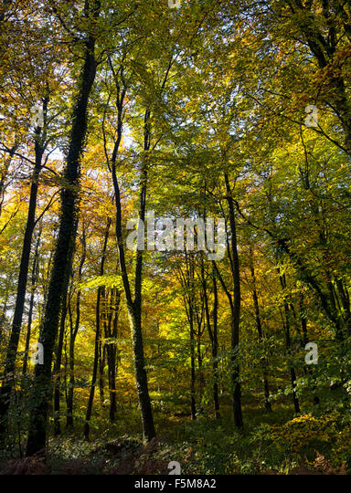 Magical forest: amazing autumnal colours of beech trees in Eartham Wood, between Goodwood and Arundel, West Sussex, - Stock Image
