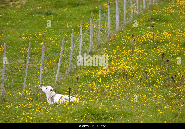 Calf of the species Vestlandsk Fjordfe in grassy fields on the island Runde on the west coast of Norway. - Stock-Bilder