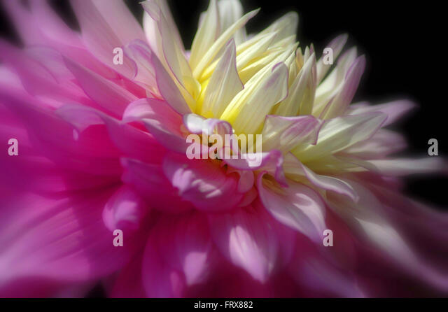 Close up of large dahlia flower in pink and pale yellow. - Stock Image