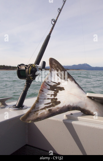 Tail of large halibut sticking out of fish box next to fishing rod and reel, Prince William Sound, Southcentral - Stock Image