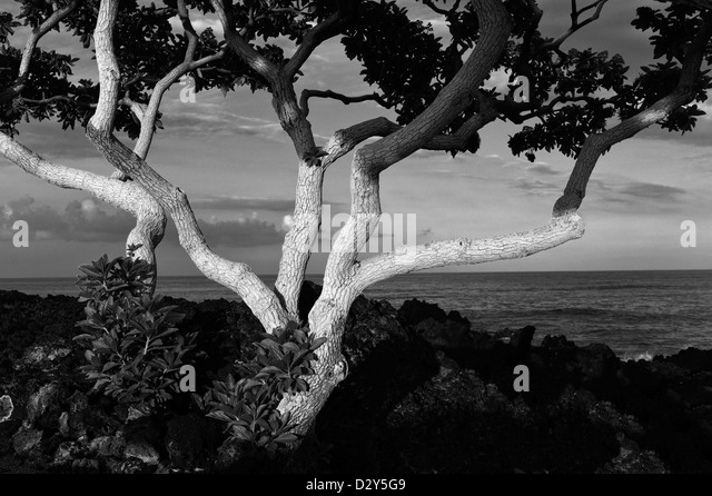 Heliotrope trees with first light and ocean. The Big Island, Hawaii. - Stock Image