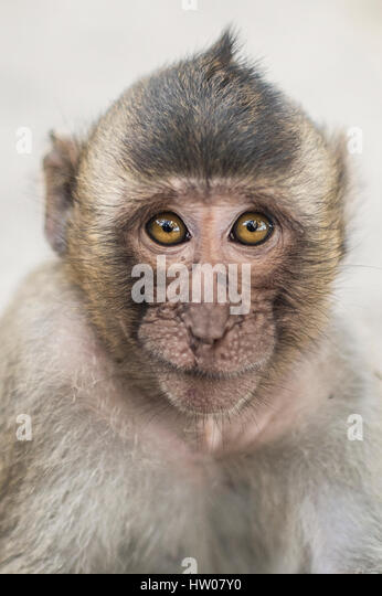 Portrait of a monkey in Thailand - Stock Image