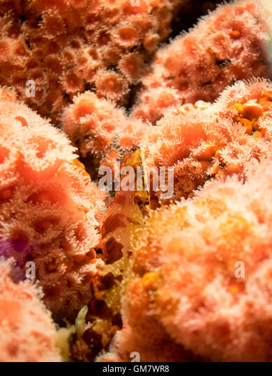 A rockfish is camouflaged in strawberry anemone (Corynactis californica) at the Vancouver Aquarium. - Stock Image