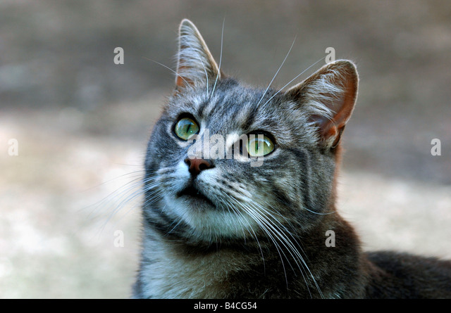 Portrait Of A Grey & White Tom Cat - Stock Image
