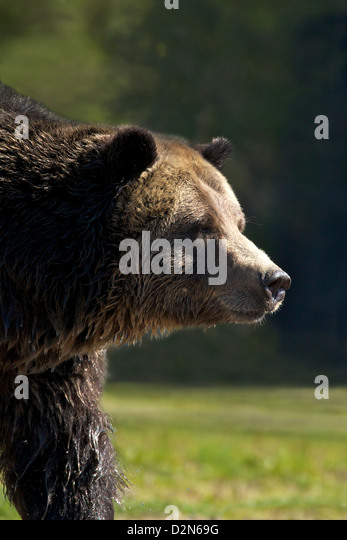 Grizzly bear (Ursus arctos horribilis), Grizzly and Wolf Discovery Centre, West Yellowstone, Montana, USA - Stock Image