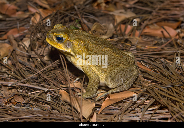 cane toads in australia There's a cane toad statue in the town of sardina, australia buffy, as residents affectionately call her, commemorates the town's sugar cane farmers.