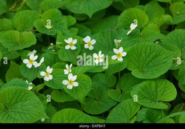 Woodland violets, Pipestone National Monument, Minnesota. - Stock-Bilder