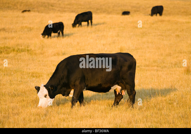 Livestock - Black Baldie cow grazing on a pasture of cured grass in early Autumn / Alberta, Canada. - Stock Image