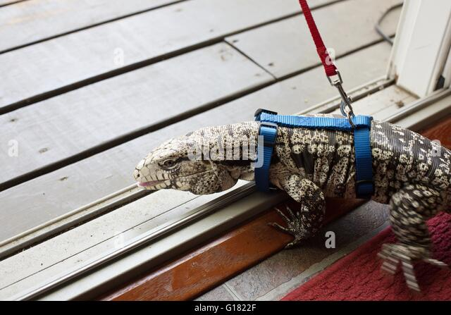 An Argentine black and white tegu wearing a harness and a leash, going outdoors for a walk. - Stock Image