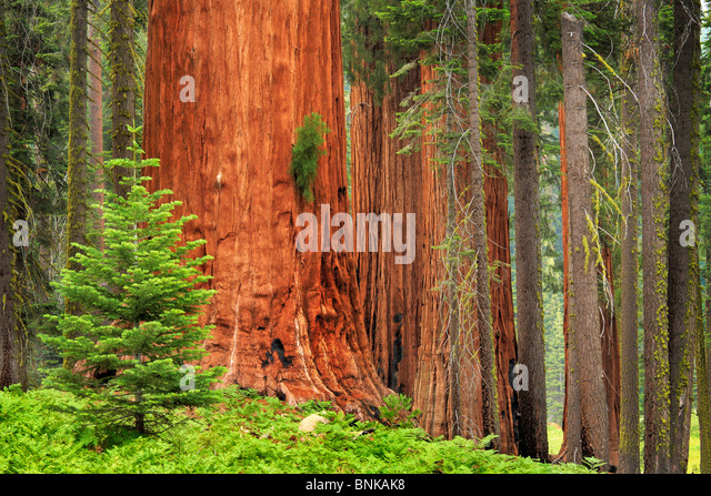 Sequoia and King Canyon National Park - Stock Image