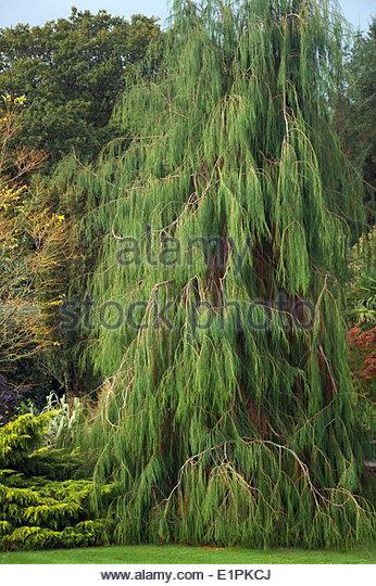 Chamaecyparis lawsoniana 'Imbricata Pendula' AGM - Stock Image