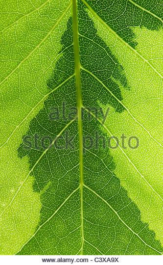 Liriodendron tulipifera variegata. Variegated Tulip tree leaf pattern - Stock Image