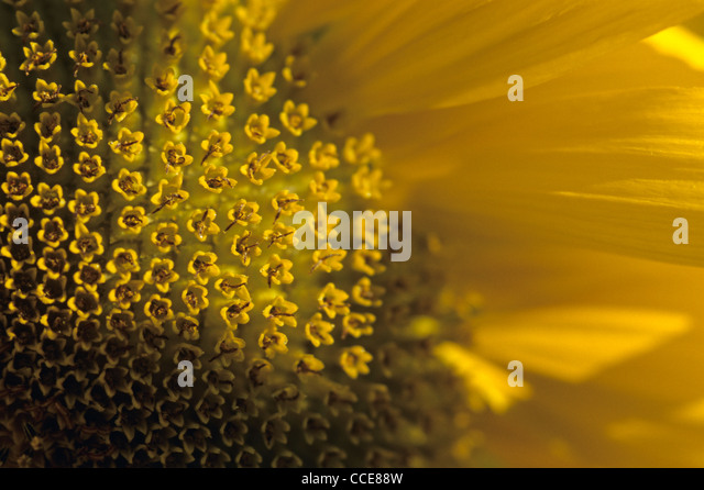 Close-up of sunflowers - Stock Image