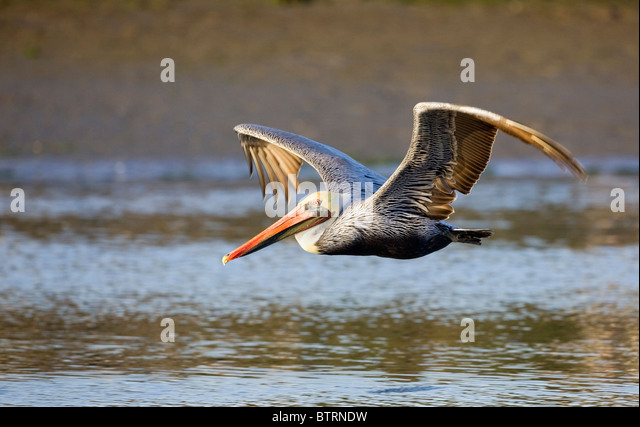 A brown pelican (Pelecanus occidentalis) glides over the waters of Elkhorn Slough in Moss Landing, California. - Stock Image